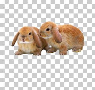 Mini Lop Mini Rex Holland Lop Netherland Dwarf Rabbit Rex Rabbit PNG