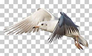 Bird Gulls Flight Jonathan Livingston Seagull PNG