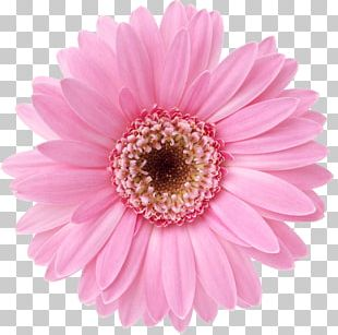 Flower Desktop Display Resolution Transvaal Daisy Floral Design PNG