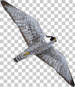 Hawk Bird Of Prey Peregrine Falcon Flight PNG