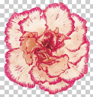 Carnation Pink Cut Flowers PNG