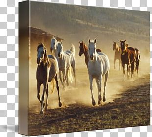 Mustang Stallion Mare Western Riding Pack Animal PNG