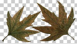 Maple Leaf Northern Hemisphere Southern Hemisphere PNG