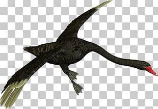 Black Swan Water Bird Goose Ganso PNG