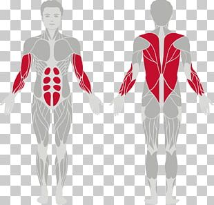 Muscular System Muscle Human Body Pull-up Exercise PNG