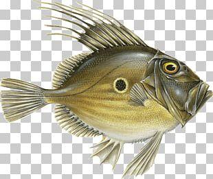 Fish John Dory Blue Tang Blue Grenadier Atlantic Bluefin Tuna PNG