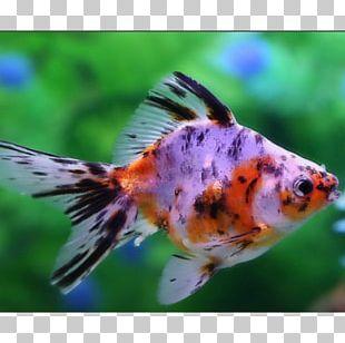 Common Goldfish Veiltail Comet Ryukin Oranda PNG
