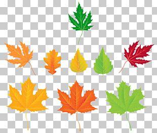 Leaf Maple Leaf Design PNG