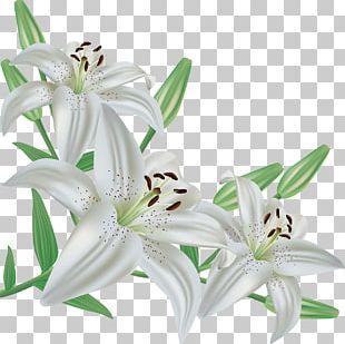 Easter Lily Madonna Lily Desktop PNG