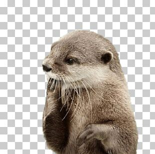 Otter Fingers In Mouth PNG