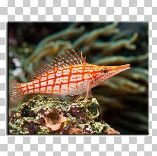 Coral Reef Fish Hawkfish Saltwater Fish PNG
