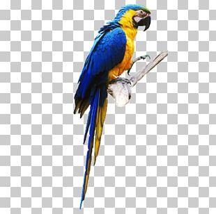 Budgerigar Lovebird True Parrot Parrot Parrot PNG