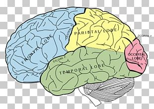 Lobes Of The Brain Occipital Lobe Temporal Lobe Parietal Lobe PNG