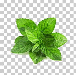 Peppermint Mentha Spicata Leaf Mentha Arvensis Green PNG