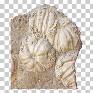 Jellyfish Coelenterata Sea Anemones And Corals Fossil Stone Carving PNG