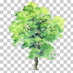 Plant Tree Bauhinia Variegata Bauhinia × Blakeana PNG