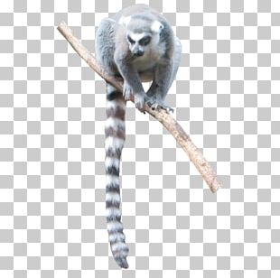 Lemur Monkey Bird Graphic Design PNG