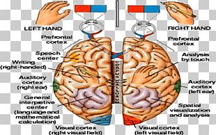 Human Brain Central Nervous System Physiology Anatomy PNG