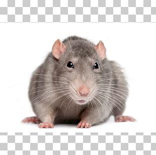 Brown Rat Black Rat Rodent Mouse Laboratory Rat PNG