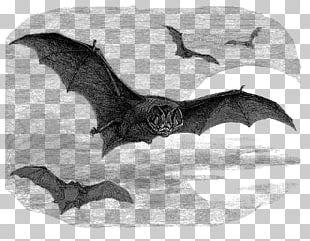 Barbastelle Drawing Illustration Vesper Bat Graphics PNG