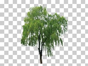 Salix Alba Branch Tree Bark Extract PNG