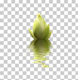 Nelumbo Nucifera Desktop Flower PNG