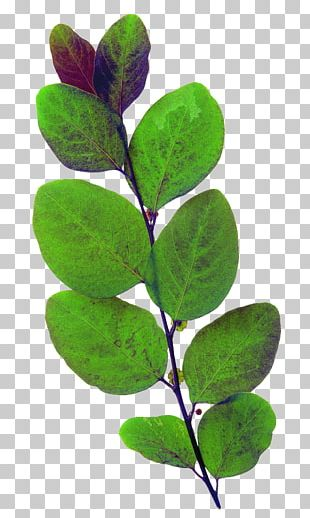 Leaf Green Plant PNG