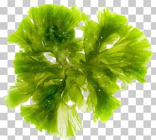 Brown Algae Seaweed Green Algae Red Algae PNG