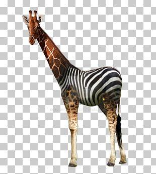 Giraffe Quagga Horse Mammal Animal PNG