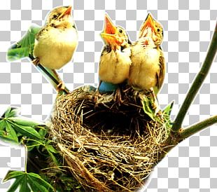 Bird Nest Edible Bird's Nest PNG