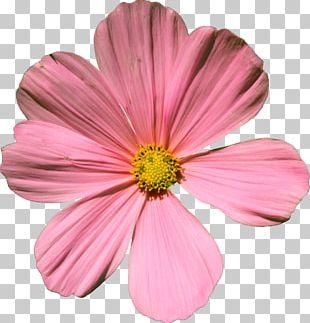 Cosmos Bipinnatus Flower Artist's Portfolio PNG