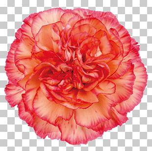 Carnation Cut Flowers Rose Color PNG