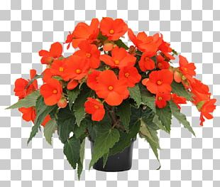 Houseplant Begonia Boliviensis Annual Plant Flowering Plant PNG
