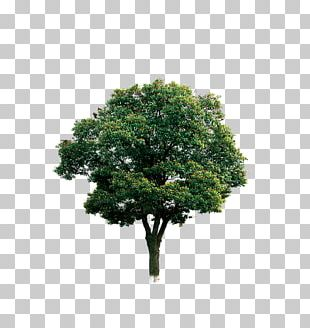 Tree Branch Computer File PNG