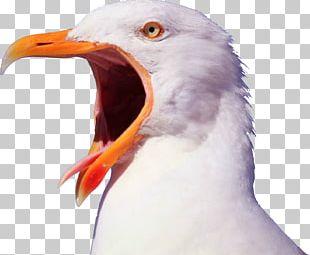 Bird Gulls Pelican YouTube Beak PNG