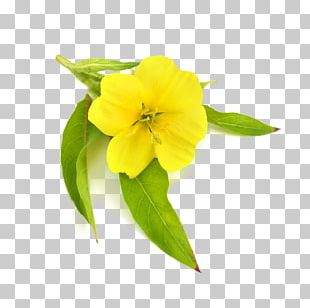 Common Evening-primrose Carrier Oil Borage Seed Oil PNG