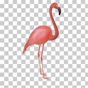Flamingos Bird Flamenco PNG