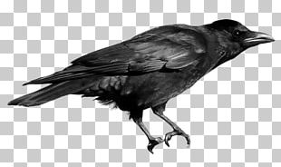 Crows PNG