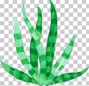 Aloe Vera Plant Watercolor Painting Euclidean PNG