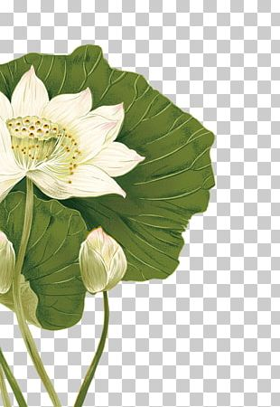 Nelumbo Nucifera Flower Illustration PNG