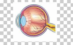 Human Eye Human Anatomy Diagram PNG