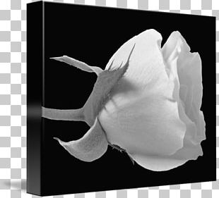 Rose Family Black And White Photography PNG