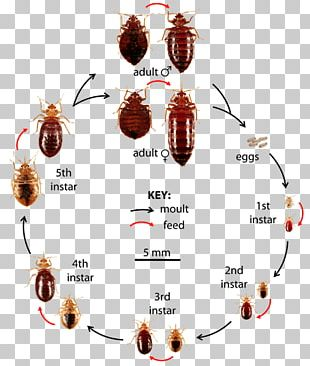 Insect Bed Bug Control Techniques Bed Bug Bite Pest Control True Bugs PNG