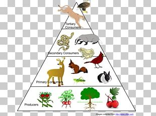 Food Web Ecological Pyramid Food Chain Ecosystem Ecology PNG