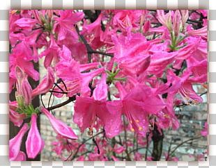 Azalea Flora Rhododendron Subshrub Pink M PNG