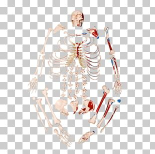 Human Skeleton Anatomy Bone Inserção Muscular PNG