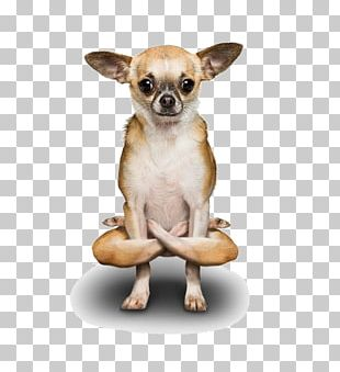 Poodle Chihuahua Yoga Dogs Doga PNG