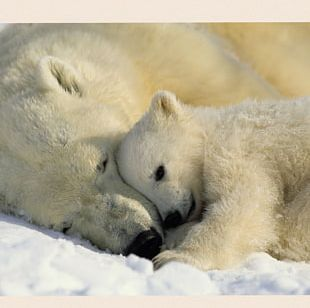 Baby Polar Bears Hellabrunn Zoo PNG