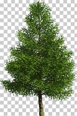 Evergreen Tree Pine Douglas Fir PNG