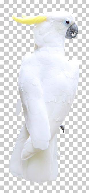 Bird Feather Cockatoo Beak PNG